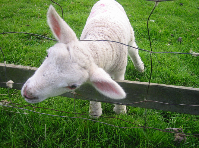 drama_triangle_sheep_stuck_in_fence